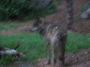 Aidan of the Wolf Center Pack