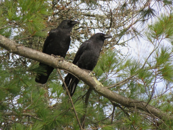 Pair of crows in a white pine tree.