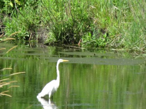 "Egret on the ""duck pond"" before the contamination"
