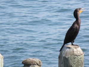 Cormorant on the pier