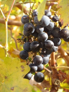 Cabernet Grapes in Napa