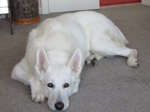 White German Shepherd relaxing in a warm house on a cold day