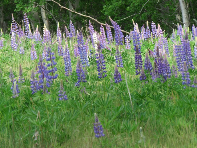 Lupine on Bar Island