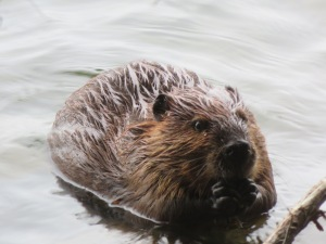 Beaver sighted at Acadia National Park